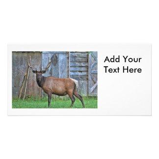6 Point Bull Elk Photo Customized Photo Card