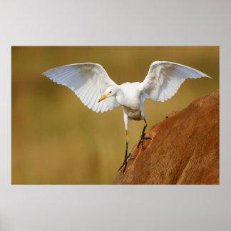 A Cattle Egret (Bubulcus Ibis) Descends Poster
