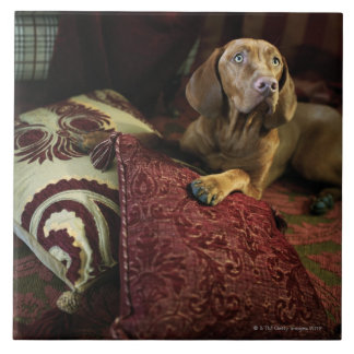A dog lying on pillows. large square tile