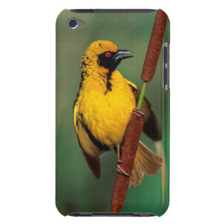 A Village Weaver calling while perched on a reed Barely There iPod Case