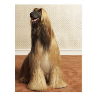 Afghan hound sitting in room 2 postcard