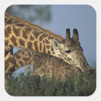 Africa, Kenya, Masai Mara Game Reserve, Giraffes Square Sticker