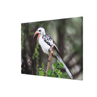 Africa, Tanzania, Red-billed Hornbill (Tockus Canvas Print