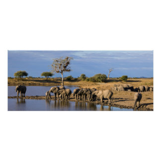 African Bush Elephant (Loxodonta Africana) Herd Poster