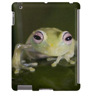 African Glass Frog, Hyperolius viridiflavus,
