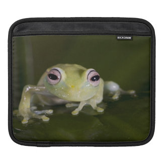 African Glass Frog, Hyperolius viridiflavus, Sleeve For iPads
