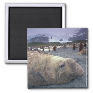 Antarctica, South Georgia Island, Elephant seal Square Magnet