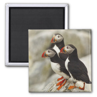 Atlantic Puffins on Machias Seal Island off the Square Magnet