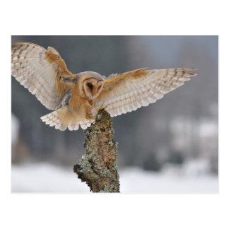 Barn owl landing to spike postcard