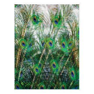 Beautiful blue green gold colours peacock feathers postcard
