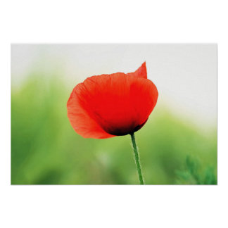 Beautiful Red Poppy Flower Poster