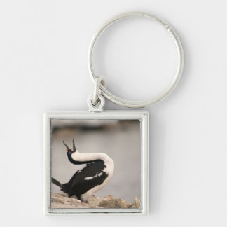 Blue-Eyed Shag in nesting colony Petermann Silver-Colored Square Key Ring
