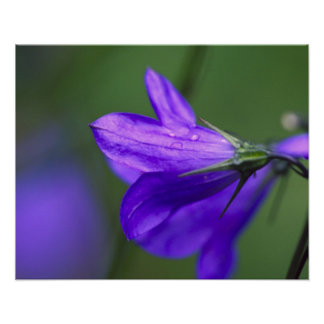 Bluebell flower in Independence Pass in Poster