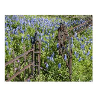 Bluebonnets and phlox surrounding cemetery gate postcard