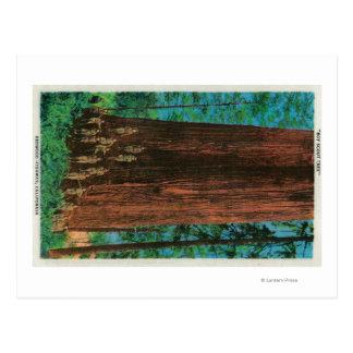 Boy Scout Tree on Redwood HighwayRedwoods, CA Postcard