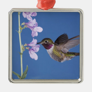 Broad-tailed Hummingbird, Selasphorus Silver-Colored Square Decoration