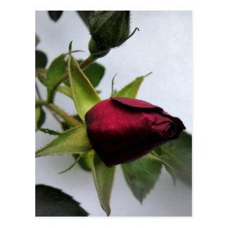 BUDDING ROSE! POSTCARD