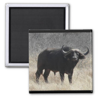 Buffalo In South Africa Square Magnet