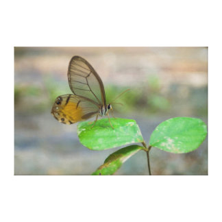 Butterfly On Leaf, Iquitos, Maynas, Peru Stretched Canvas Print