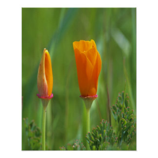 California golden poppies in a green field 2 poster