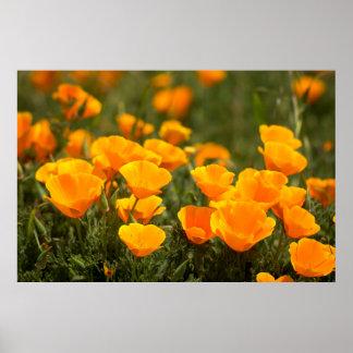 California poppies, Montana de Oro State Park Poster
