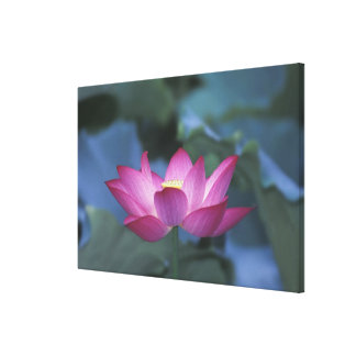 Close-up of red lotus flower and green leaves, stretched canvas print