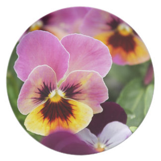Colorful Pink and Yellow Pansy Flower Plate