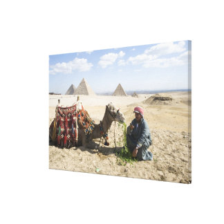 Egypt, Giza. Native man feeds his camel in Gallery Wrap Canvas