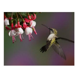 Female Ruby throated Hummingbird in flight. Postcard