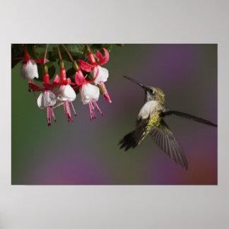 Female Ruby throated Hummingbird in flight. Poster