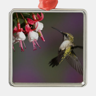 Female Ruby throated Hummingbird in flight. Silver-Colored Square Decoration