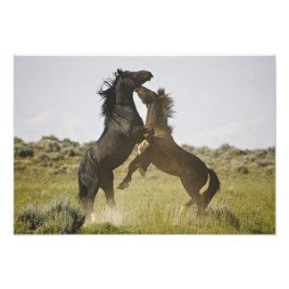 Feral Horse Equus caballus) wild horses Photo