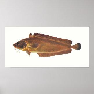 Fish - Ling - Lotella callarias Poster