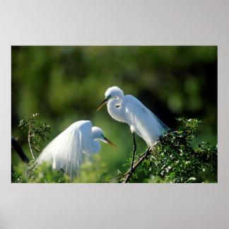 Florida, Venice, Audubon Sanctuary, Common Egret Poster