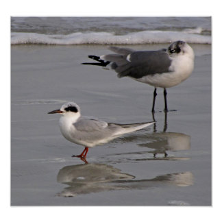 Forster's Tern and Gull Poster