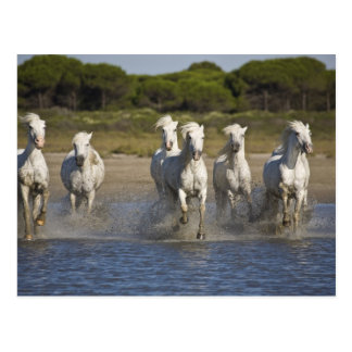France, Camargue. Horses run through the estuary 2 Postcard