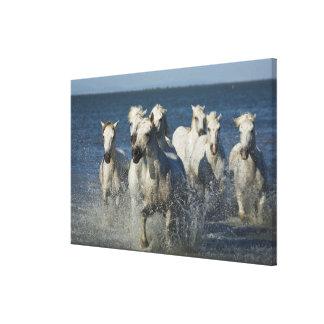 France, Camargue. Horses run through the estuary 4 Gallery Wrapped Canvas