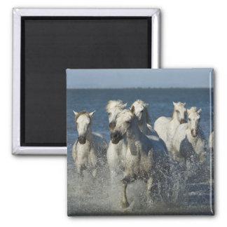 France, Camargue. Horses run through the estuary 4 Square Magnet