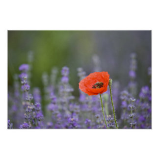 France, Provence. Lone poppy in field of Poster