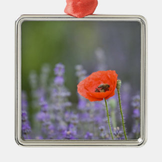 France, Provence. Lone poppy in field of Silver-Colored Square Decoration