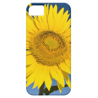 France, Provence, Valensole. Sunflowers stand iPhone 5 Cover