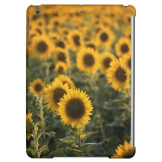 France, Vaucluse, sunflowers field