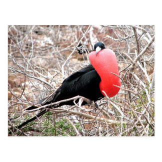Frigate Bird (Fragata) in Mating Display Galapagos Postcard
