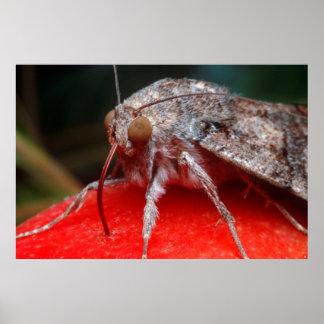 Fruit-Piercing Moth (Calpinae) On Apple. Belgin Poster