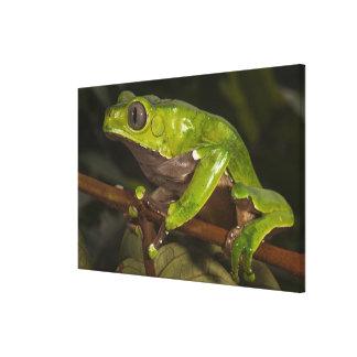 Giant leaf frog Phyllomedusa bicolor) Canvas Print