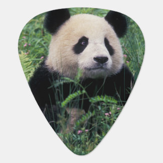 Giant panda in the grass, Wolong Valley, Sichuan Guitar Pick