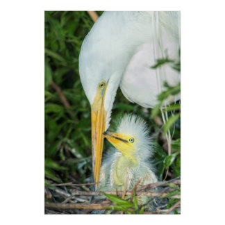 Great Egret and baby egret at Gatorland Poster