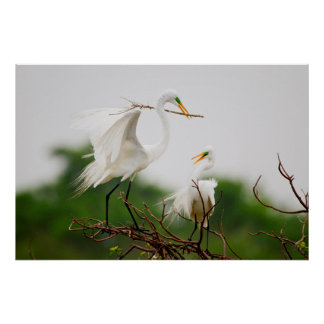 Great Egret (Ardea Alba) Breeding Activity Poster