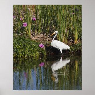 Great Egret hunting fish in freshwater marsh Poster