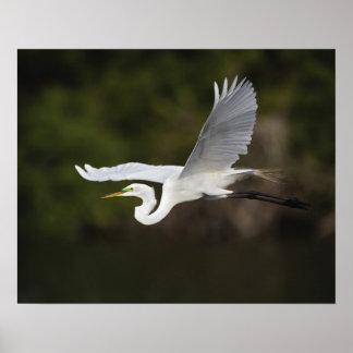 Great Egret in flight, Casmerodius albus, Poster